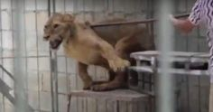 Circus Lions Beaten And Kept In Filthy Cages, New Footage Shows