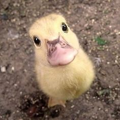 There's only one thing better than cute animals - cute baby animals. Check our list of the most adorable baby animals for that much needed 'awwww' in your day. Cute Baby Animals, Farm Animals, Animals And Pets, Funny Animals, Wild Animals, Funny Cats, Animal Pictures, Cute Pictures, Funny Photos