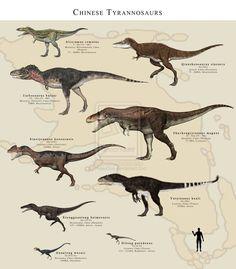 Tyrannosauridae from China! Con la silueta de un simpático señor para dar una idea de los diferentes tamaños. Por PaleoGuy, el dibujo ampliado puede verse en http://paleoguy.deviantart.com/art/Chinese-Tyrannosaurs-459011116