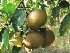 Apple 'Reinette Grise Canada', Malus domestica 'Reinette Grise Canada' | http://www.jardiland.com/mon-jardin/1-pepiniere/5-fruitiers/1139-pommier-reinette-grise-du-canada?onglet=all
