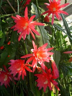 Epiphyllum orchid cactus flower  by Toby Garden