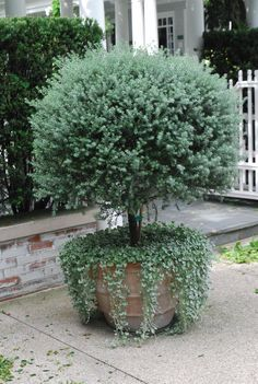 victorian rosemary underplanted with silver falls dichondra