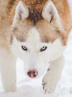 Wonderful All About The Siberian Husky Ideas. Prodigious All About The Siberian Husky Ideas. Malamute Husky, My Husky, Husky Puppy, Husky Pics, Beautiful Dogs, Animals Beautiful, Husky Mignon, Animals And Pets, Cute Animals