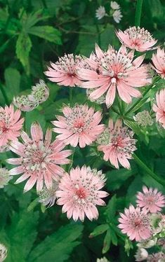 Astrantia major - Masterwort produces many small, ivory flowers that are flushed pink and bloom continuously throughout the summer and fall, wafting a sweet scent. Care: Masterwort prefers part shade and rich, medium to wet soil. It grows best in soil that is not allowed to dry out and in areas with cooler summer nights.