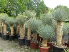 NATIVE: Beaked Yucca (Yucca rostrata) is a slow-growing, tree-like Yucca with upright stems and beautiful gray-blue narrow foliage. Yucca Rostrata, Succulent Landscaping, Tropical Landscaping, Planting Succulents, Backyard Landscaping, Palm Garden, Dry Garden, Tropical Garden, Agaves