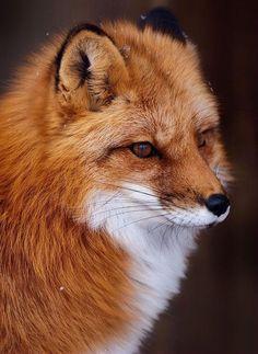 Red fox. By Vladimir Naumoff - Pixdaus