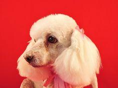 Corte cabeza Frech Poodel