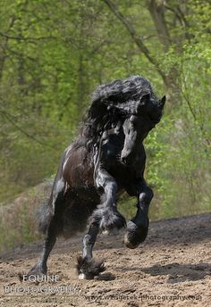 Equine Photography - Karolina Wengerek Black beauty - Friesian horses - Daan