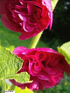 Double Hot Pink Hollyhocks