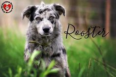 Meet Rooster, an adopted Australian Shepherd Mix Dog, from All Herding Breed Dog Rescue in Joliet, IL on Petfinder. Learn more about Rooster today. I Love Dogs, Cute Dogs, Aussie Mix, Joliet Illinois, Shepherd Mix Dog, Australian Shepherd Mix, Rescue Dogs, Pet Adoption, Dog Breeds