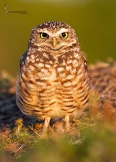 We have a Burrowing Owl in the What Bird Am I? game.  This one is from BirdWatching Magazine.