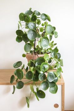 So many leaves on this Pilea!
