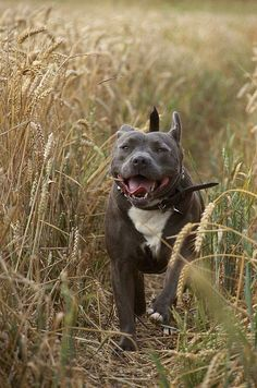 Blue nose pit bull running through the weat