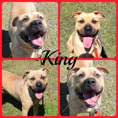 To Be KILLED 06/21/17 ***Reason: SPACE*** ➖KING➖ 1 years old • Pit Bull Terrier Mix • Male • Intake Date 04/17/17 • ℹ️For More Pics, Videos & Info: http://www.dogsindanger.com/dog/1493464012090