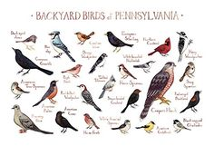 Backyard Birds of Pennsylvania Field Guide Art Print. This watercolor painting features 25 Backyard Birds of Pennsylvania as a field guide chart. It features the following birds: American Crow, American Goldfinch, American Robin, American Tree Sparrow, Black-capped Chickadee, Blue Jay, Brown-headed Cowbird, Carolina Wren, Common Grackle, Cooper's Hawk, Dark-eyed Junco, Downy Woodpecker, European Starling, Hairy Woodpecker, House Finch, House Sparrow, Mourning Dove, Northern Cardinal…