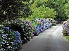 hydrangea hedge - Google Search