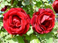 Ross Roses Willunga Online Gallery of Roses