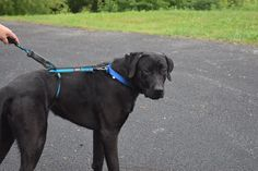 Dozer is a 1 year old black lab mix that is big, lovable, and playful. He is great with kids and seems to be okay with little dogs. Dozer likes to ride in the car and is very loyal to his people! Adopted July 2016!