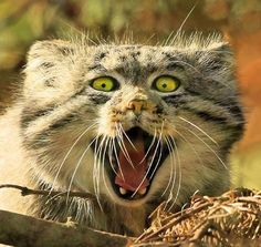 "Manul Cat.   ""ERMAHGERD!  It's the Orange Menace!!  Gonna kill it!"""