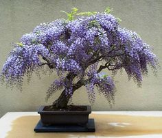 Tree-Wisteria-Bolusanthus-speciosus-Feature-or-Bonsai-20-Seeds