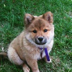 #Puppy Jordan posing for photos. #ChowChow #ShibaInu #dogs #perros #hund #chien #cachorros #puppies #perritos #dogsofinstagram #dogs_of_instagram #puppiesofinstagram #ilovemydog  #chow_chow #shiba #shibalove #shibamania #shibasofinstagram #chowsofinstagram #instadog #instapuppy #dogstagram #TBT #ThrowbackThursday #Canon #CanonPhotography #pets #petsofinstagram #柴犬
