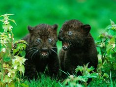 black leopard cubs, Africa - Webshots