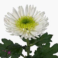 Chrysant sgl. zivena