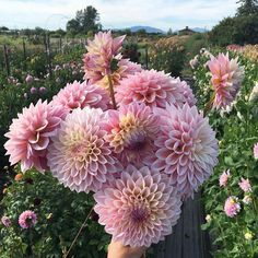 These beauties might be my new favorite #dahlia  Happy Sunday.  Amazing shot by @floretflower