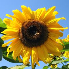 Mammoth Sunflower ...