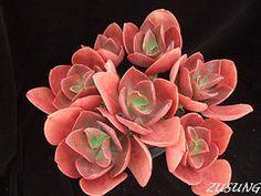 Echeveria 'Ruby Lips' | Flickr - Photo Sharing!