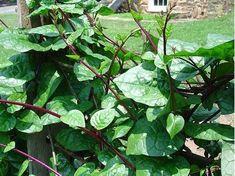 Medicinal Seeds, Spinach, Red Malabar, Red Malabar Spinach, Basella Rubra, Seed Packs, 10 seeds per