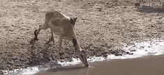 When this gazelle knew when to quit drinking:
