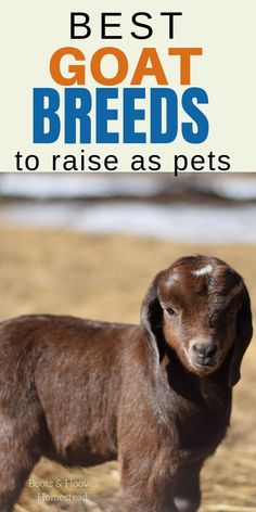 Best goat breeds to raise as pets. What are some of the best goats to keep on the homestead or small farm? Raising Farm Animals, Raising Goats, Mini Goats, Baby Goats, Small Goat, Small Farm, Nigerian Goats, Feeding Goats, Chicken