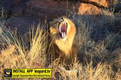 What do you think Shumba is shouting? COMMENT your best Caption! Want to see more? Cool Captions, Lions, Make Me Smile, Wildlife, African, Animals, Lion, Animales, Animaux