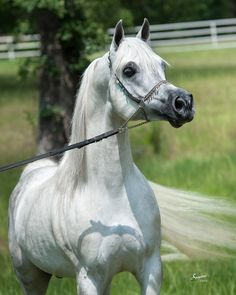 On our gorgeous farm in central Texas, Ramses Mishaal Nadir, grey Egyptian Arabian stallion. Arabians Ltd.