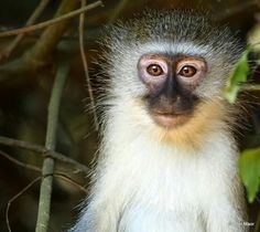 See 8 photos and 2 tips from 32 visitors to Lodge Afrique. Monkey, Gardens, Nature, Animals, Africa, Jumpsuit, Naturaleza, Animales, Animaux