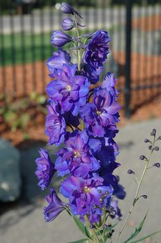 Larkspur, the flower for July babies - I LOVE that they are purple with gold in the center! =)