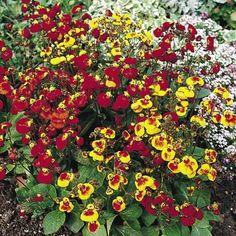 Calceolaria Seeds - Sunset Mix - 106620 - All Flower Seeds - Flower Seeds - Gardening Perennial Border Plants, Sutton Seeds, All Flowers, Flower Seeds, Perennials, Butterflies, Floral Wreath, Gardening, Wreaths