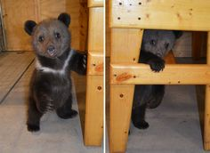 Couple Adopts Twin Bear Cubs Rejected By Their Mother | Bored Panda