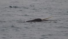 A narwhal in the waters of Tremblay Sound, Nunavut. This one is likely a male. Females can have tusks, but it is quite uncommon.