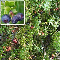 Juniperus Silicicola Southern Red Cedar Florida Native