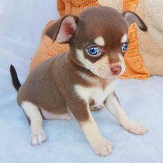 Super Cute Puppies, Baby Animals Super Cute, Cute Dogs And Puppies, Baby Puppies, Baby Dogs, Cute Animals, Doggies, Teacup Chihuahua Puppies, Chihuahua Love
