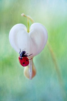 ,Lady bug and white bleeding heart :) Beautiful Bugs, Beautiful Flowers, Heart In Nature, Fleurs Diy, Bugs And Insects, Foto Art, All You Need Is Love, Belle Photo, Beautiful Creatures