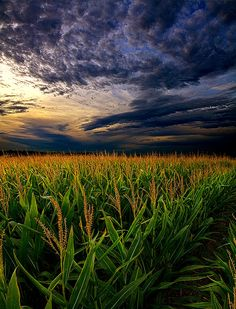 ☀Maize Fine Art Print - Phil Koch