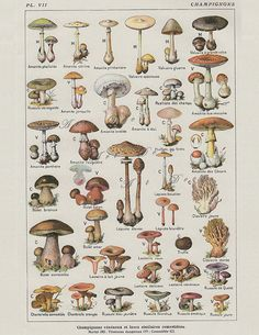 Vintage French Mushroom Botanical Print, a printable vintage illustration from ArtDeco on Etsy, a good source for digital images.