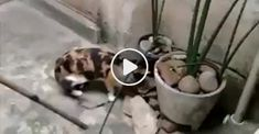 Clever Mouse Escapes Cat Lucky Or Smart