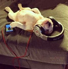 Cute bulldog puppy laying on bed listening to music  with his Beats Headphones