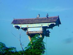 #dovecote #pigeonhouse #pigeoncote at Jember, East Java • Indonesia