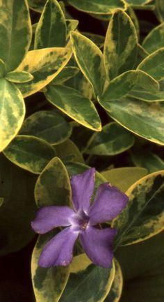 Nine Evergreen Ground Covers - Juniper  Cotoneaster  English Ivy  Pachysandra  Vinca  Arabis and Aubretia Sedums (creeping forms).  Thymus Phlox subulata