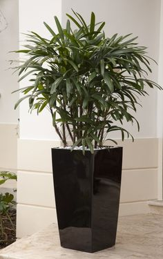 Raphis Palm, often called Lady Finger Palm, has gorgeous dark green fan-shaped f. Tropical Garden Design, Tropical Landscaping, Landscaping Plants, House Plants Decor, Plant Decor, Palm Tree Decorations, Patio Trees, Florida Plants, Potted Palms